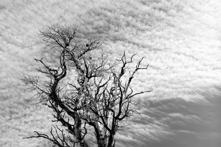 Bare Tree Branches and Stratus Clouds photo