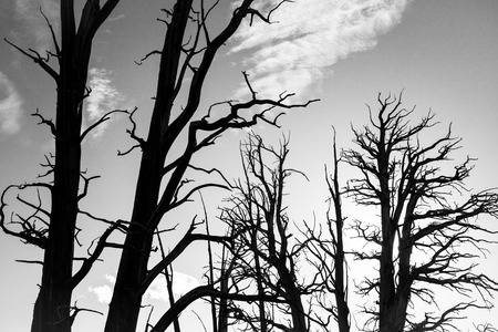Bare Bristlecone Trees photo