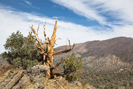 inyo national forest: Ancient Bristlecone Pine Tree Stock Photo