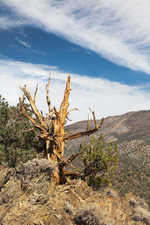 inyo national forest: Ancient Bristlecone Pino