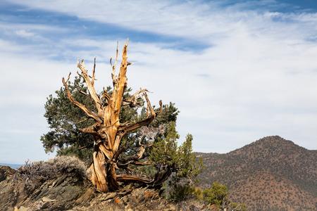 bristlecone: Ancient Bristlecone Pine Tree Stock Photo