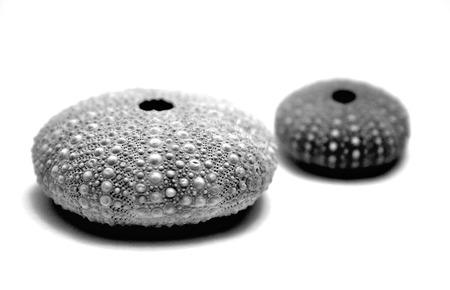 Sea Urchin Shells Imagens