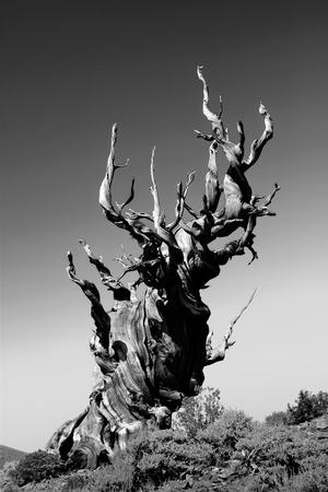 Ancient Bristlecone Pine Tree Imagens