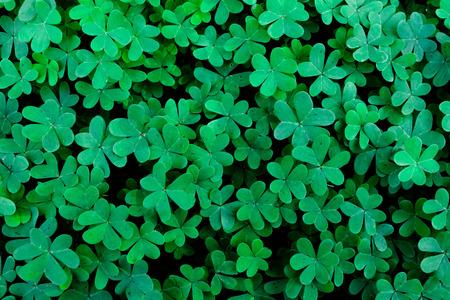 lush: Lush Green Clover Field Background Stock Photo