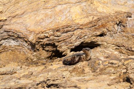 Juvenile California sea lion on rocks. photo
