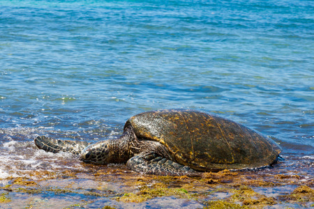 green sea: Green sea turtle arriving on shore Stock Photo