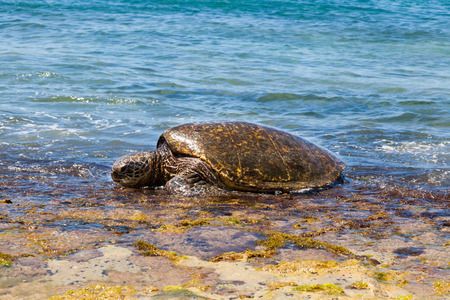 green sea: Green sea turtle Stock Photo