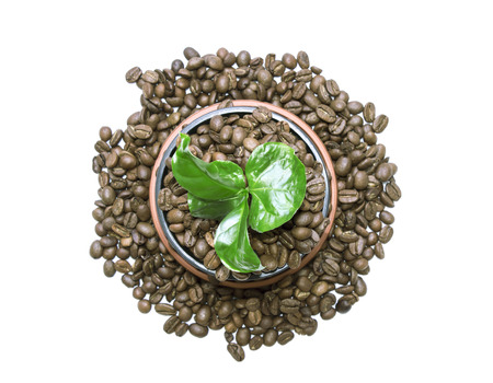 outgrowth: Young green sprout of a tree growing out of the coffee beans instead of ground in a pot with scattered beans around.
