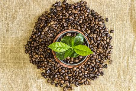 arbol de cafe: Brote joven del árbol de café en una olla con granos de café se encuentran dispersos en torno a él en el fondo de arpillera lienzo. Vista superior Foto de archivo