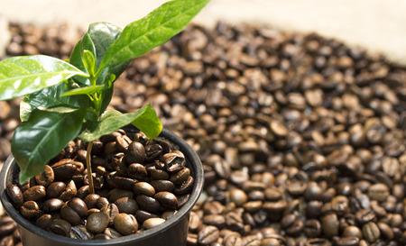 arbol de cafe: Brote joven del árbol de café en una olla con granos de café se encuentran dispersos en torno a él en el fondo de arpillera lienzo. Centrarse en los granos en crisol Foto de archivo