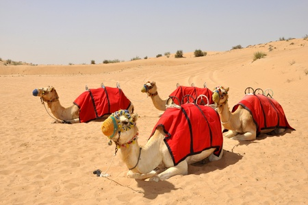 Camel safari, sitting camels in Dubai photo