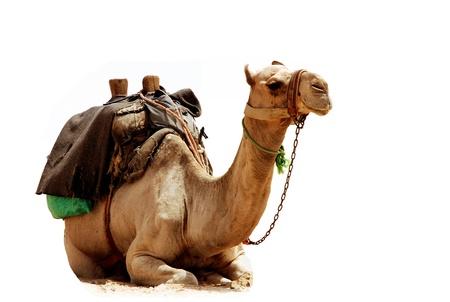 Camel sitting on white background