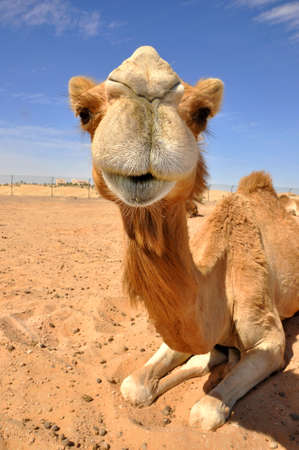 Camel sitting in the desert, Abu Dhabi  photo