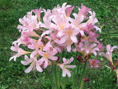Pink lilies in summertime bloom Stock fotó