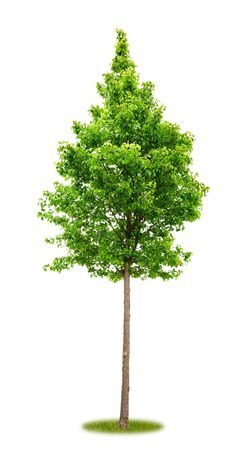Isolated young park tree on white background with copy space as cutout