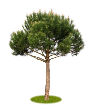 Isolated young pine tree with flowers on white background with copy space as cutout
