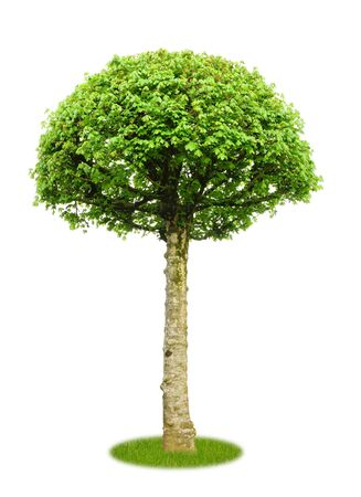 Marple tree on white background with copy space as cutout
