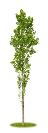Isolated young poplar tree in spring on white background with copy space as cutout