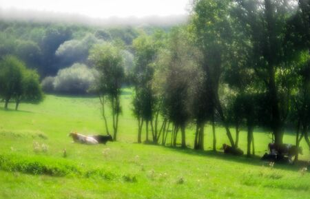 Cattle pasture with cows soft focus in the sun