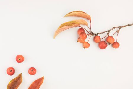 Autumn composition leaves and branch of malus floribunda on white background top view flat lay with copy space on white background with texture Reklamní fotografie