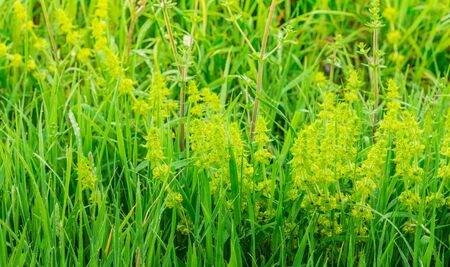 Flowering plant, Ciliated crossbill, Cruciata laevipes, Common crossbill, Biotope with grass