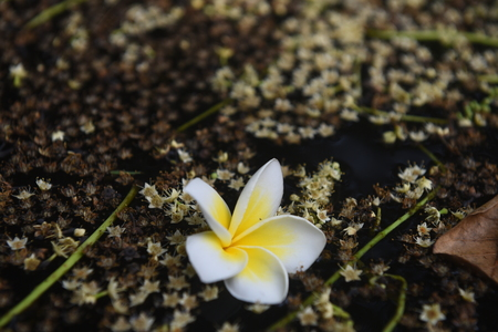 Frangipani flower floating on water