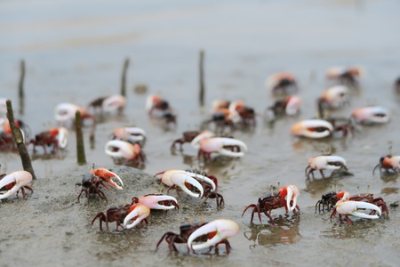 Fiddler Crab ( Uca uruguayensis ) in mangrove forest, Indonesia Archivio Fotografico - 121518676