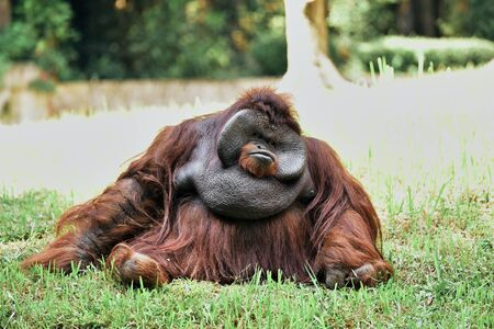 Big adult male Orangutan sitting on grass