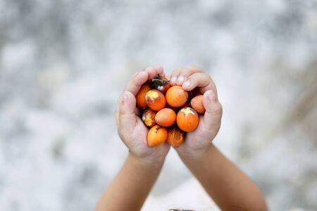 Hands holding bulletwood fruit or buah tanjong