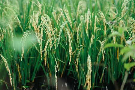 Closeup Rice in green paddy field