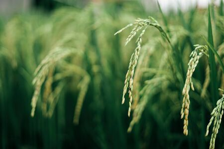 Paddy varieties in organic rice field agriculture
