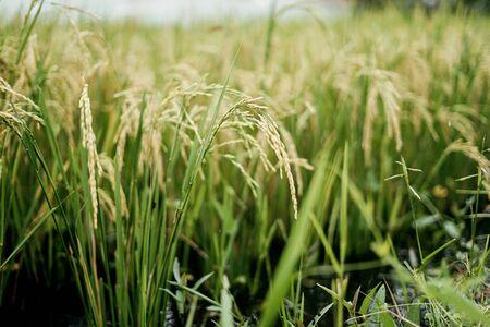 Rice in the field of organic farmland