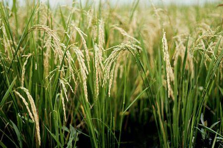 Organic Rice Paddy Plants in farmland