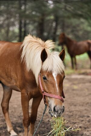 Brown Blonde Horse is eating fresh grass