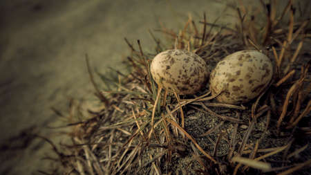 Close-up Two Small Eggs with Birds Nest in Nature Wildlife