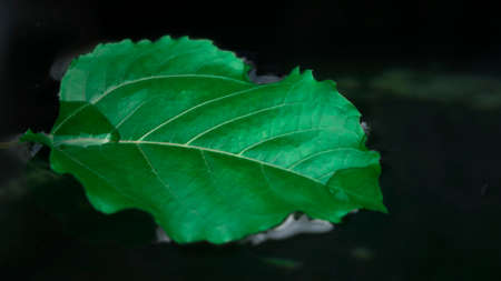 Green leaf floating on the water