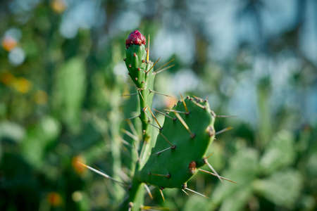 Prickly pear cactus close up with fruit in red color in Nature Background