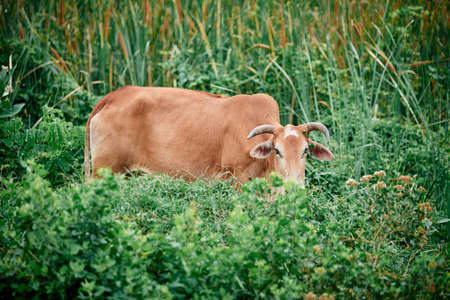 Closeup Domestic Brown cow eating in a grass field Stockfoto