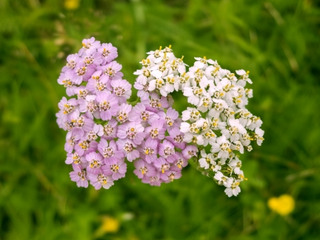Unique white and pink milfoil yarrow on green field Stock Photo - 15869863