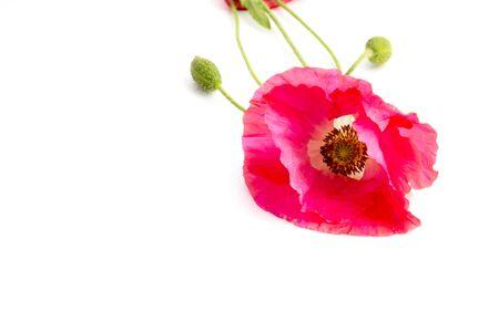 Poppy on white background Stock Photo