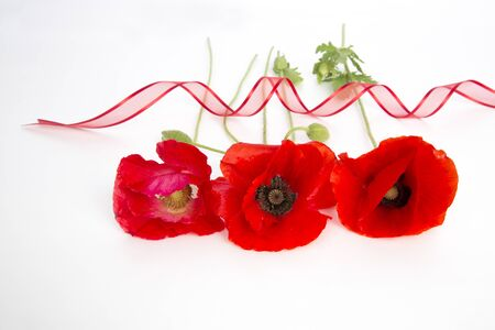 Red poppies on white background