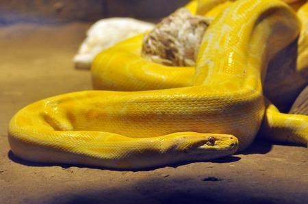 pythons: Gold python