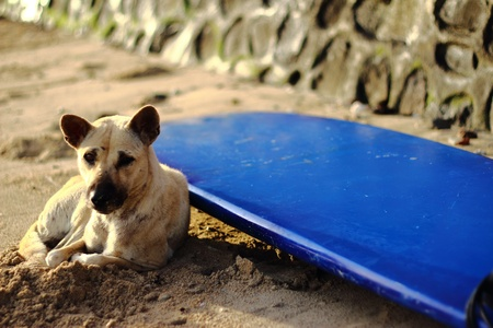 The dog guards his owners surfboard   photo