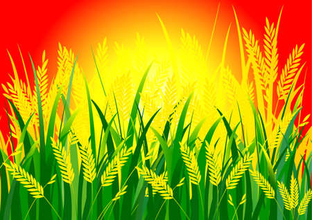 rice field: rice and sun background