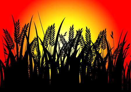 rice field: black rice and sunset background