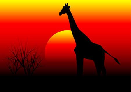 africa sunset: giraffe in africa sunset background