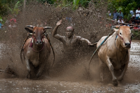 pacu: Pacu jawi  race cow  North sumatera Indonesia.   Stock Photo