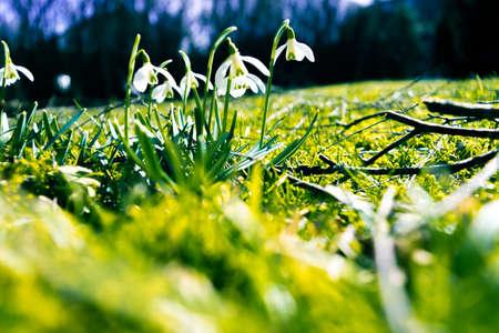 snowdrops: Snowdrops flowers Stock Photo