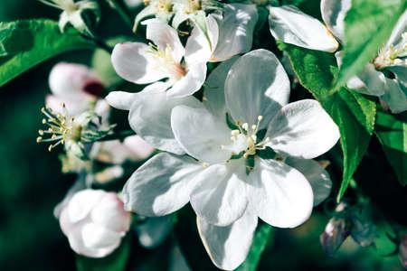 tyrol: apple blossoms south tyrol spring garden awakening