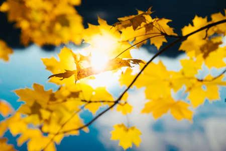 barnwood: Yellow autumn forest leaves Stock Photo